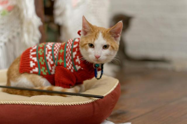 Gato con roa de navidad