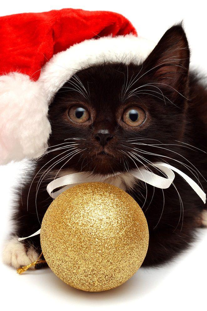 Gato nego con goro navideño